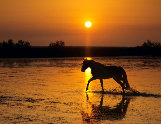 Stock Photo: 4279-37519 Camargue horse in water - sunset