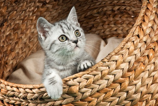 British Shorthair cat - kitten in basket : Stock Photo