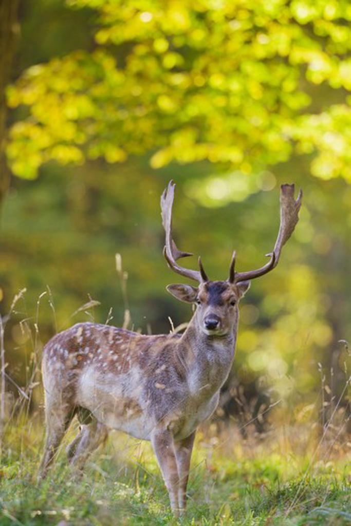 Fallow Deer - standing on meadow, Dama dama : Stock Photo