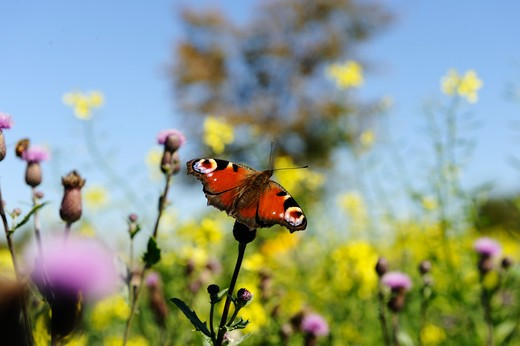 European Peacock on blossom, Inachis io : Stock Photo