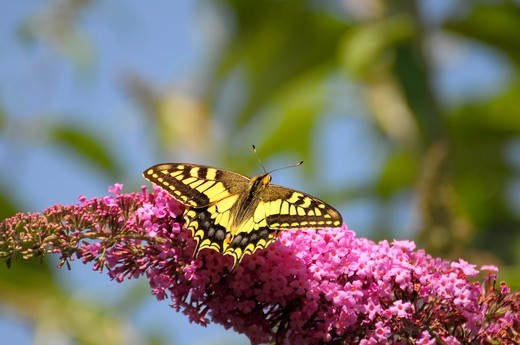 Stock Photo: 4279-37909 Old World Swallowtail on lilac, Papilio machaon