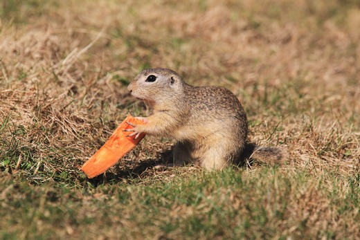 European ground squirrel with food, Spermophilus citellus : Stock Photo