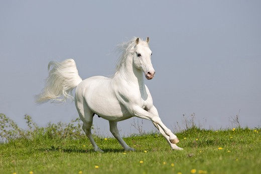 Lipizzan horse - galloping on meadow : Stock Photo