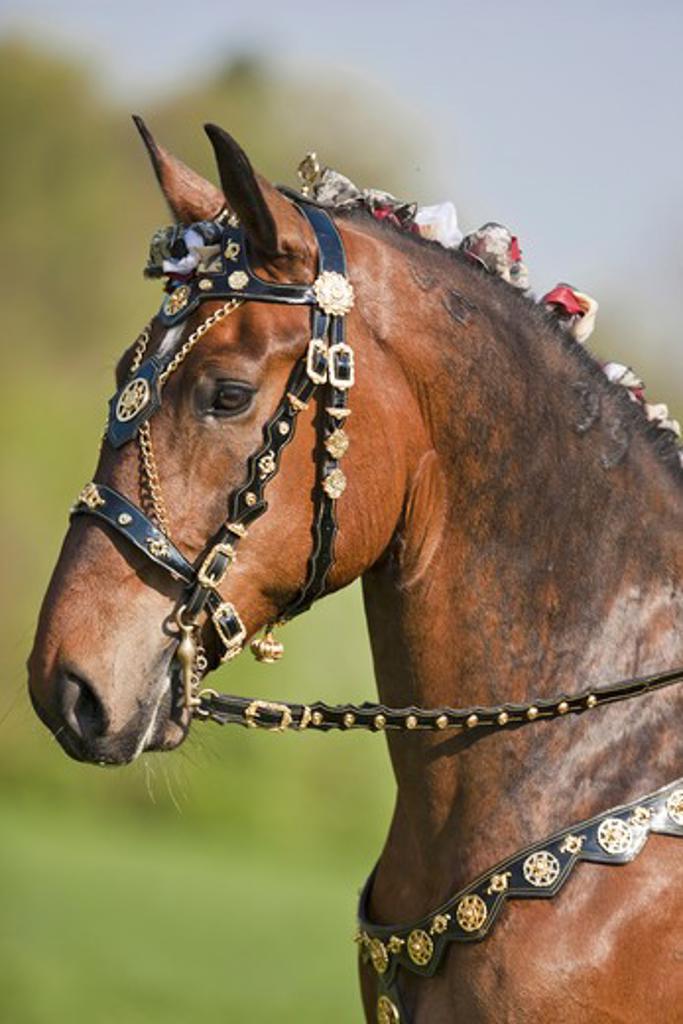 Lipizzan horse - portrait : Stock Photo