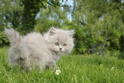 Stock Photo: 4279-38582 Highlander kitten - standing on meadow