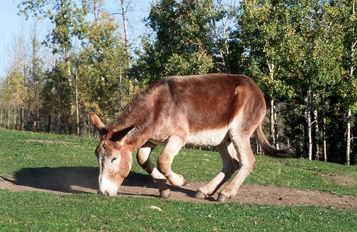 donkey sniffing at ground : Stock Photo
