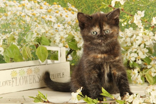 Stock Photo: 4279-38615 domestic cat - kitten - sitting
