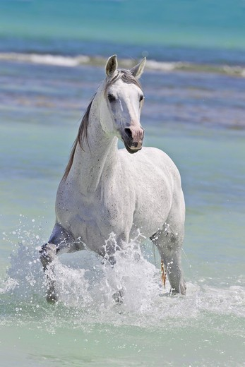 Stock Photo: 4279-38751 Arabian horse - standing in water