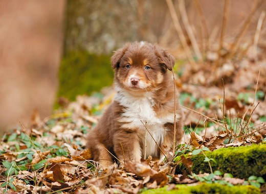 Stock Photo: 4279-38850 Australian Shepherd dog - puppy - sitting