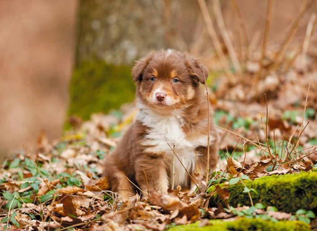 Australian Shepherd dog - puppy - sitting : Stock Photo