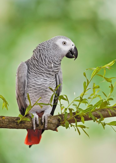 Stock Photo: 4279-38884 Congo African Grey Parrot on branch