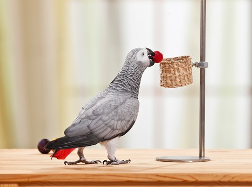 Stock Photo: 4279-38887 Congo African Grey Parrot - playing - testing its behavior