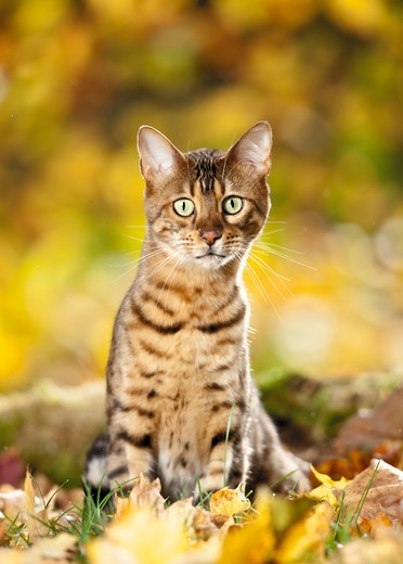 Bengal cat - sitting : Stock Photo