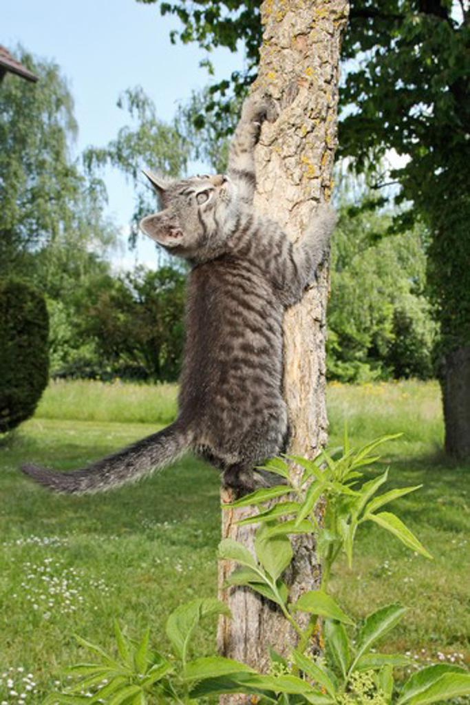 Stock Photo: 4279-38933 domestic cat - kitten (63 days) on tree