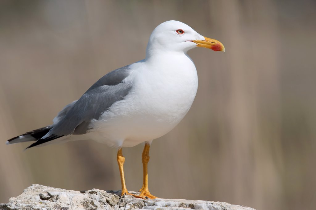 Stock Photo: 4279-39251 Yellow-legged Gull - standing, Larus michahellis