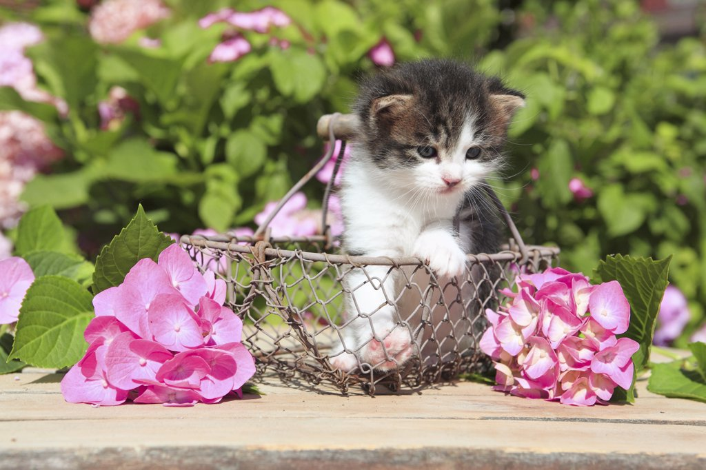 Stock Photo: 4279-39259 domestic cat - kitten in basket