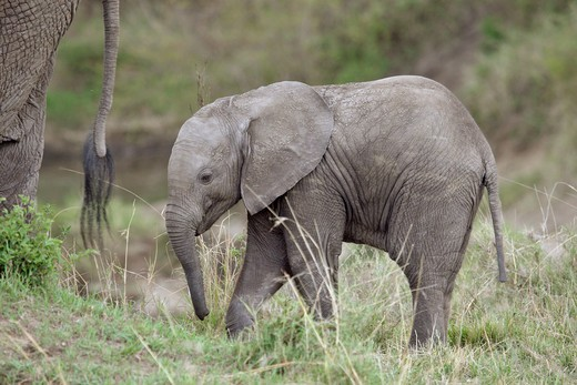 Stock Photo: 4279-39535 African Elefant - cub, Loxodonta africana