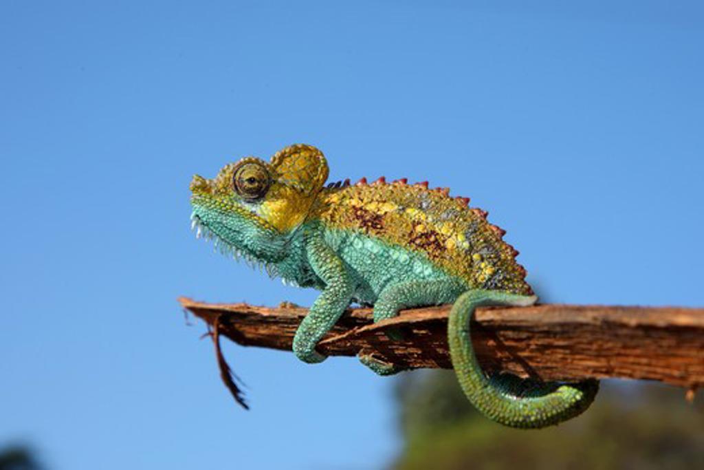 Stock Photo: 4279-39537 Von Hohnel's Chameleon, Chamaeleo hoehnelii