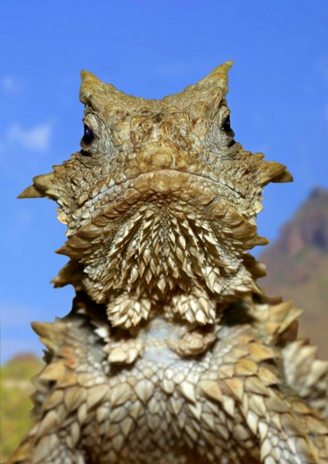 Stock Photo: 4279-39583 Giant Horned Lizard, Phrynosoma asio