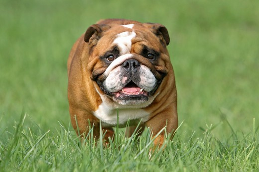 English Bulldog on meadow : Stock Photo