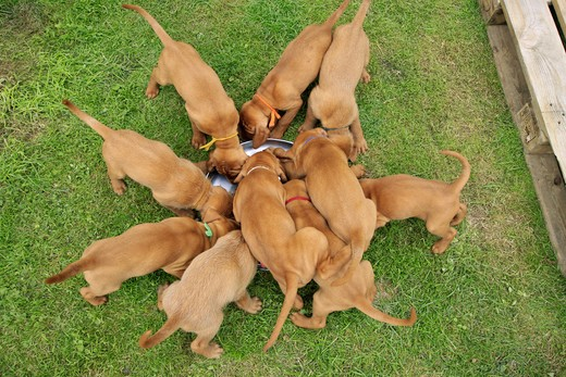 Wirehaired Magyar Vizsla puppies - munching : Stock Photo