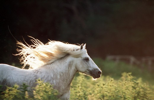 Camargue horse : Stock Photo