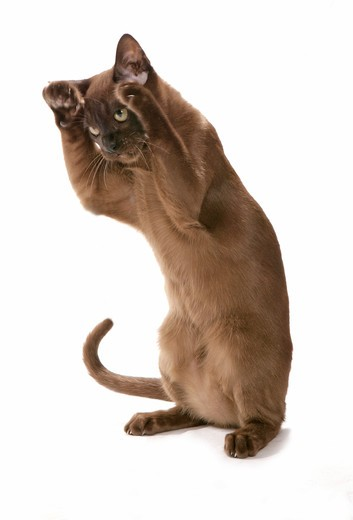 Stock Photo: 4279-39886 Burmese Cat - standing - cut out
