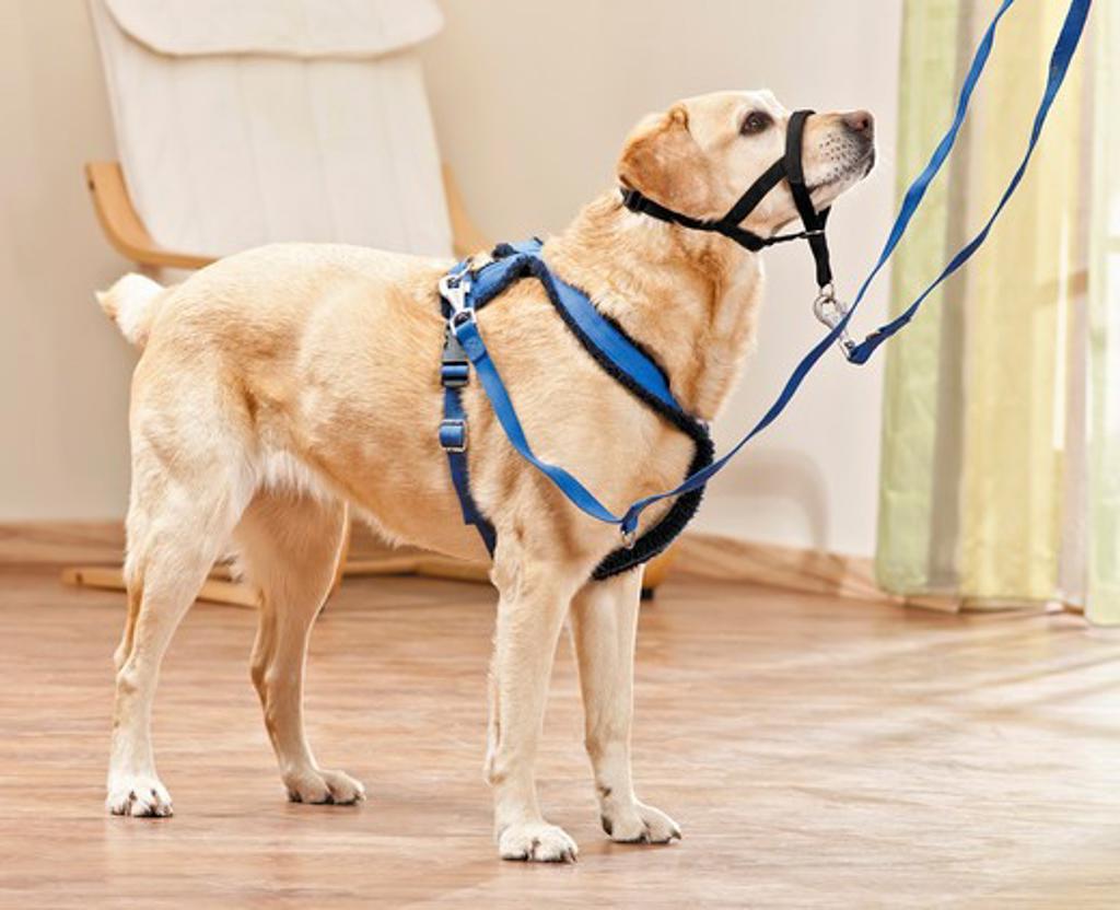 Stock Photo: 4279-39919 Labrador Retriever dog with Halti and harness