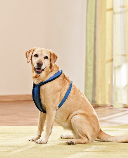 Labrador Retriever with harness : Stock Photo