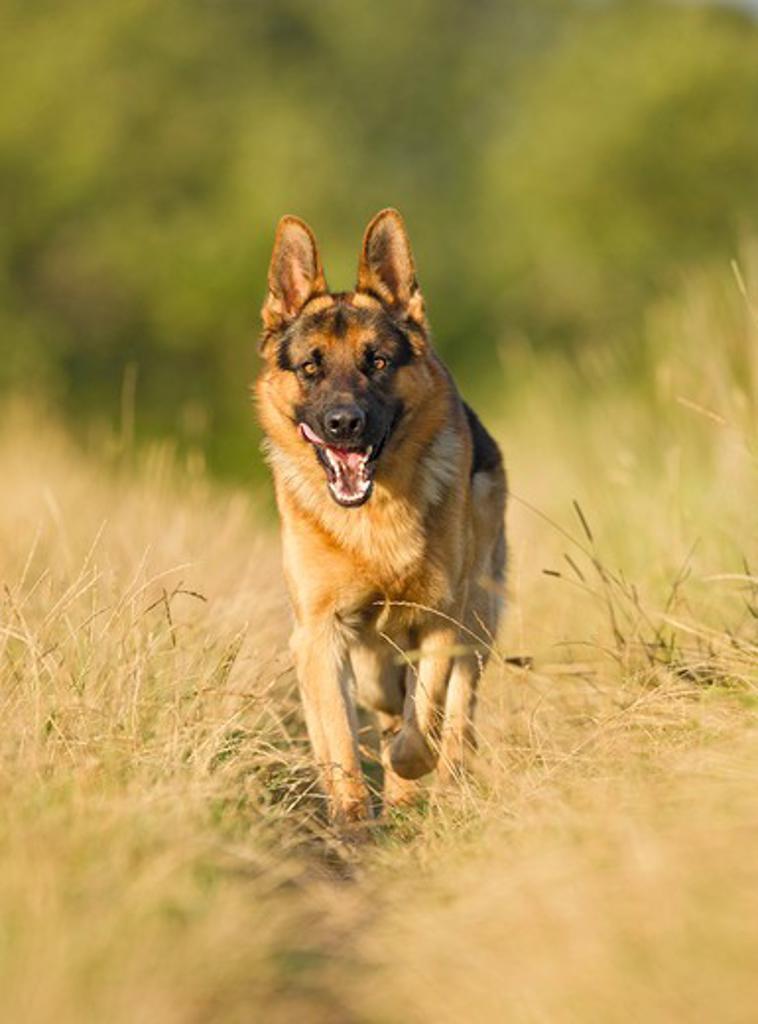 Stock Photo: 4279-39926 German Shepherd dog - walking