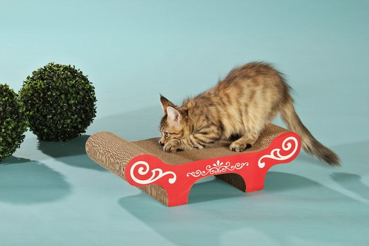 Stock Photo: 4279-39981 domestic cat - kitten on scratching post