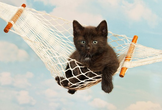 domestic cat - kitten (39 days) in hammock : Stock Photo