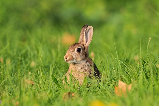 European Rabbit on meadow, Oryctolagus cuniculus : Stock Photo