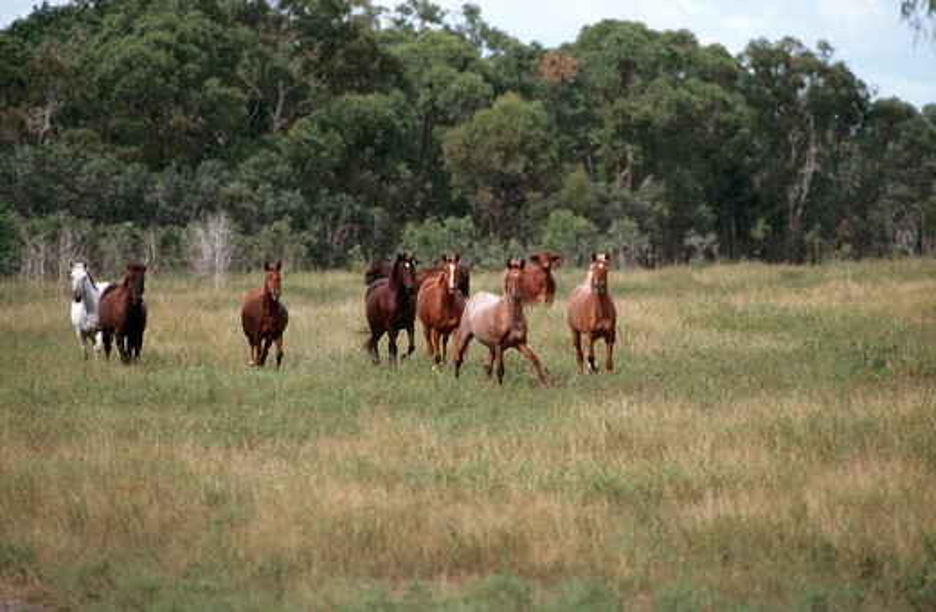 Australian Stock Horses : Stock Photo