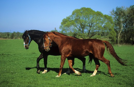 two Mecklenburg horses - trotting on meadow : Stock Photo