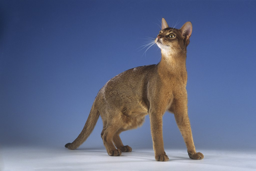 Stock Photo: 4279-40673 Abyssinian cat - standing - cut out