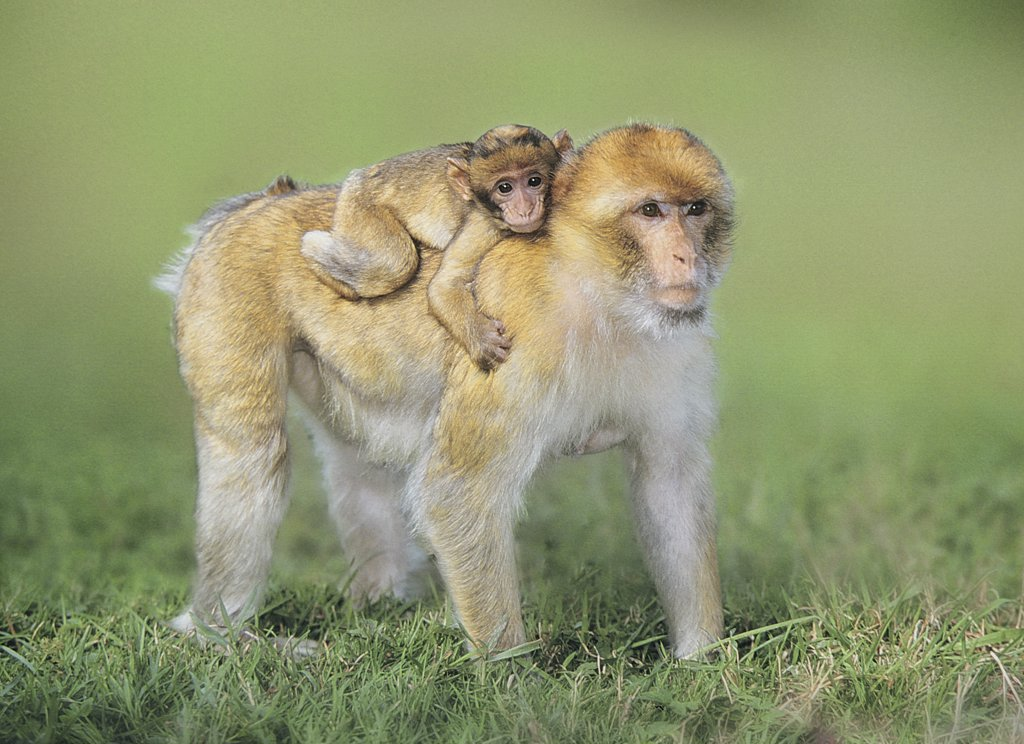 Stock Photo: 4279-40851 Barbary Ape with cub - standing on meadow, Macaca sylvanus