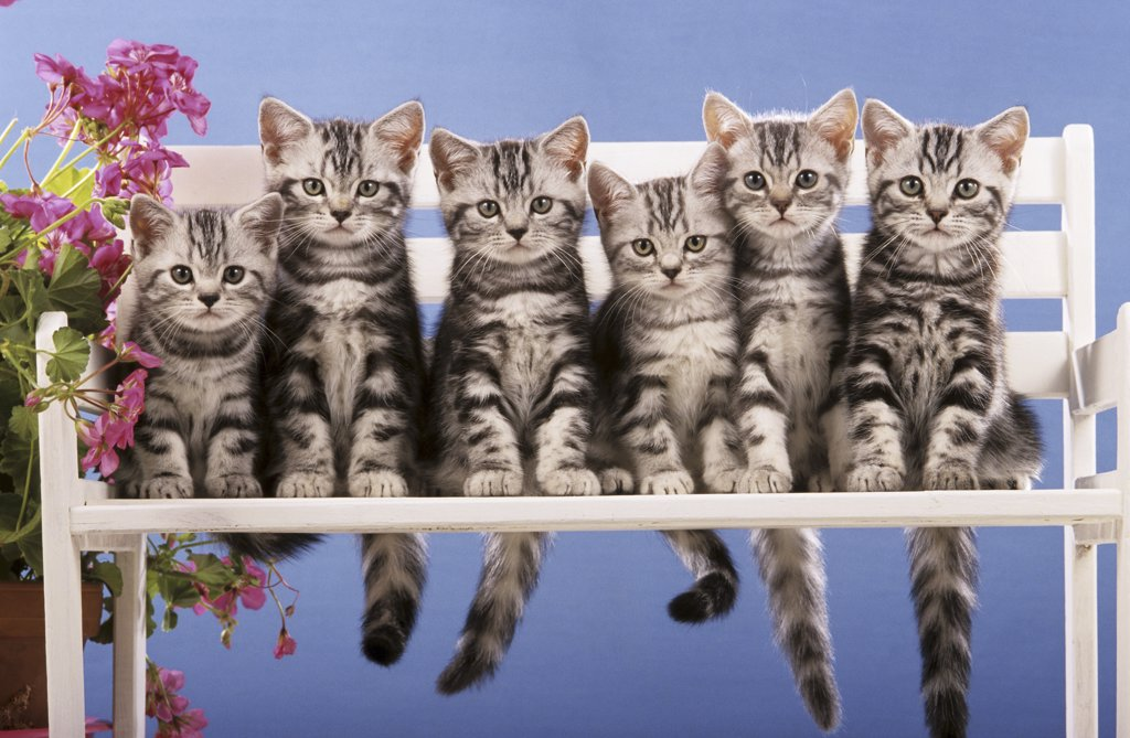 Stock Photo: 4279-41154 six British Shorthair cats - kitten sitting on bench