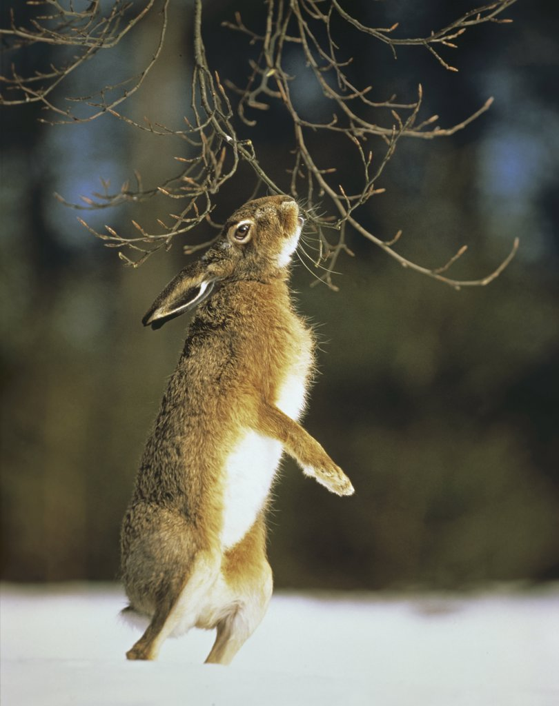 Stock Photo: 4279-41202 European hare - standing on hind legs in snow, Lepus europaeus