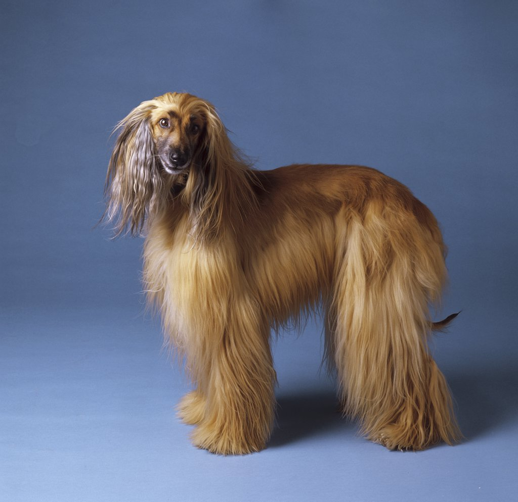 Afghan Hound - standing lateral : Stock Photo