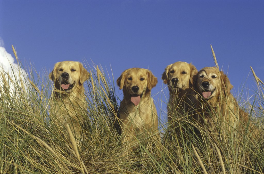 Stock Photo: 4279-41398 four Golden Retriever dogs in the dunes
