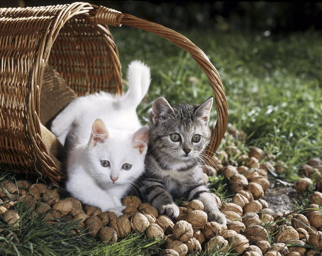 Stock Photo: 4279-41423 two young cats in basket with nuts