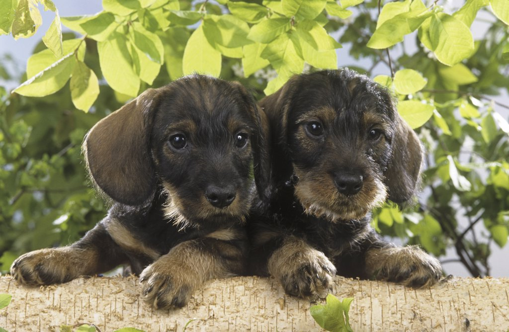 Stock Photo: 4279-41441 two wire-haired dachshund puppies