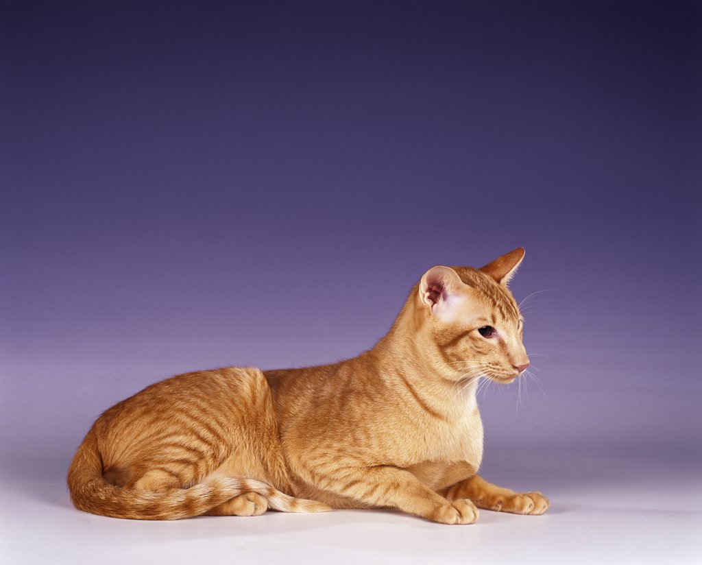 Stock Photo: 4279-41448 Oriental Shorthair red-spotted -  sitting
