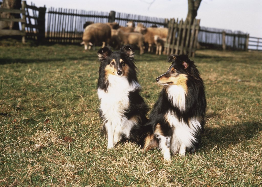 2 Shelties : Stock Photo