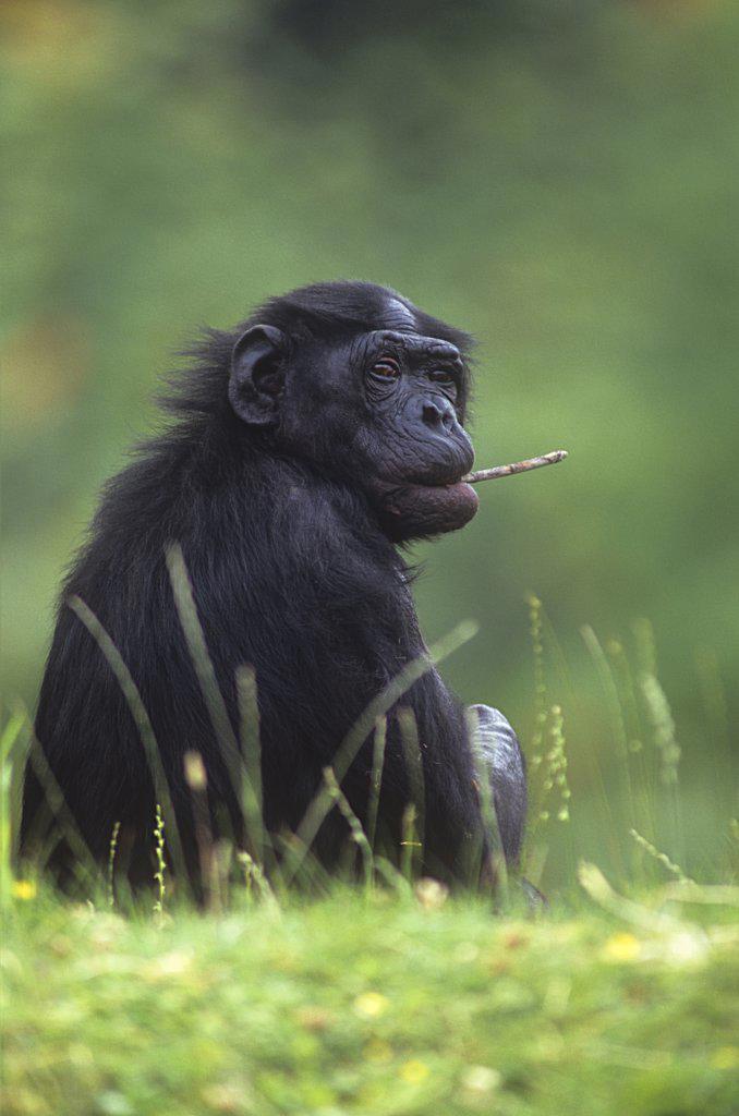Stock Photo: 4279-41988 bonobo - sitting on meadow