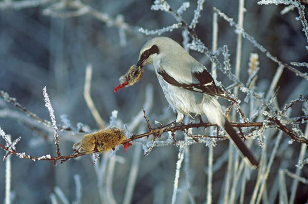 Stock Photo: 4279-42158 Great Grey Shrike with impaled mouse, Lanius excubitor