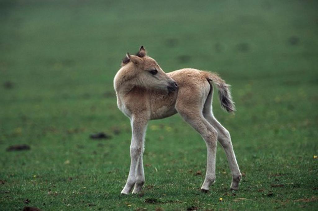 Stock Photo: 4279-42281 wild horse