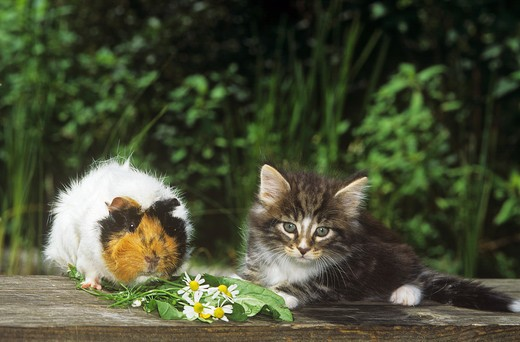 animal friendship : young Norwegian Forest cat and guinea pig : Stock Photo