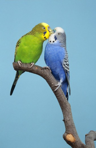 Stock Photo: 4279-42512 budgerigar